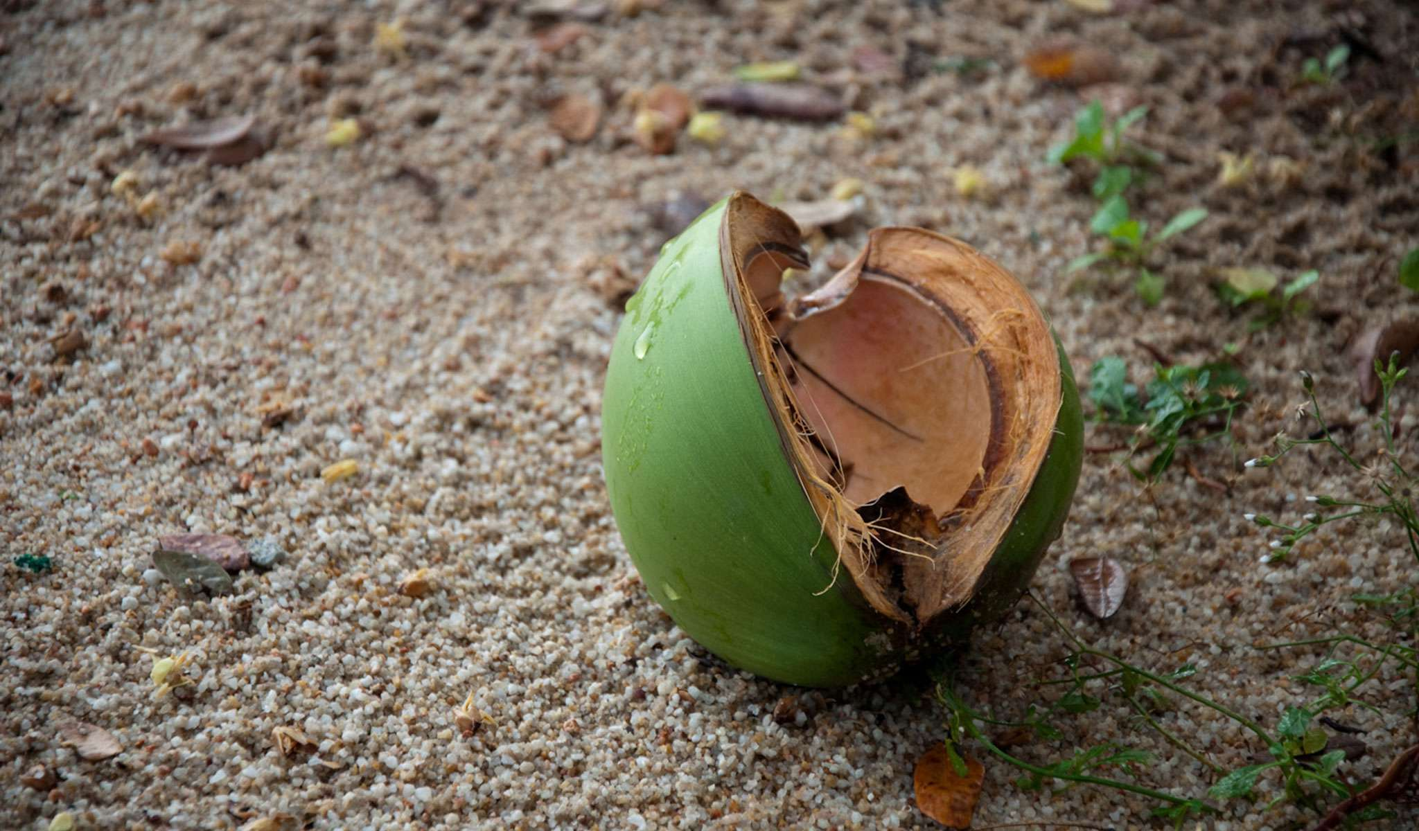 Aging Coconut Palms and The Coconut Crisis